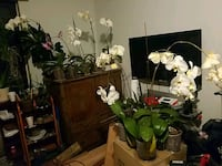 white moth orchids Brooklyn, 11216
