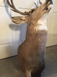 TAXIDERMY DEER WHITE TAIL SHOULDER MOUNT Las Vegas, 89117