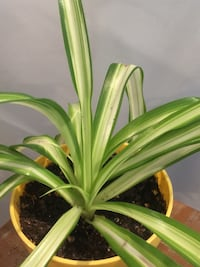 Nice and healthy spider plant in the yellow pot Aurora, 80012