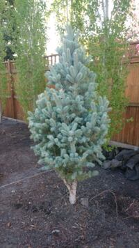 2 spruces for sale. 1 for $50, both for $80 Calgary, T2Z 3P5