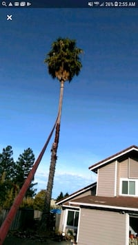 Palm tree trimming and removal