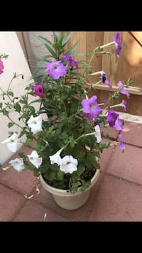 Beautiful colorful potted petunia and lily Aurora, 80012