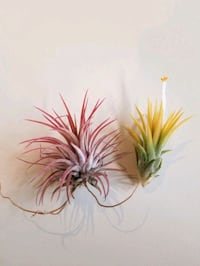 Rare live air plants set of 2 Washington, 20024