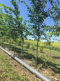 10-15 foot Elm Trees for sale!