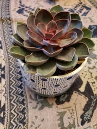 Very Beautiful & big succulent with pot for sale -$25 Mississauga, L5V 1J9