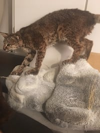 TAXIDERMY BOBCAT  Las Vegas, 89117