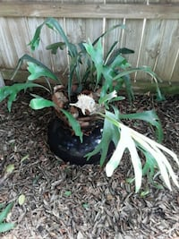 Staghorn in black pot thrives in coastal area Gulf Breeze, 32561