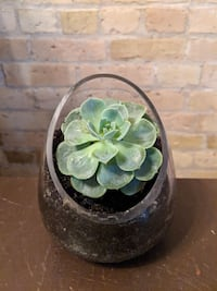 potted green Succulent London