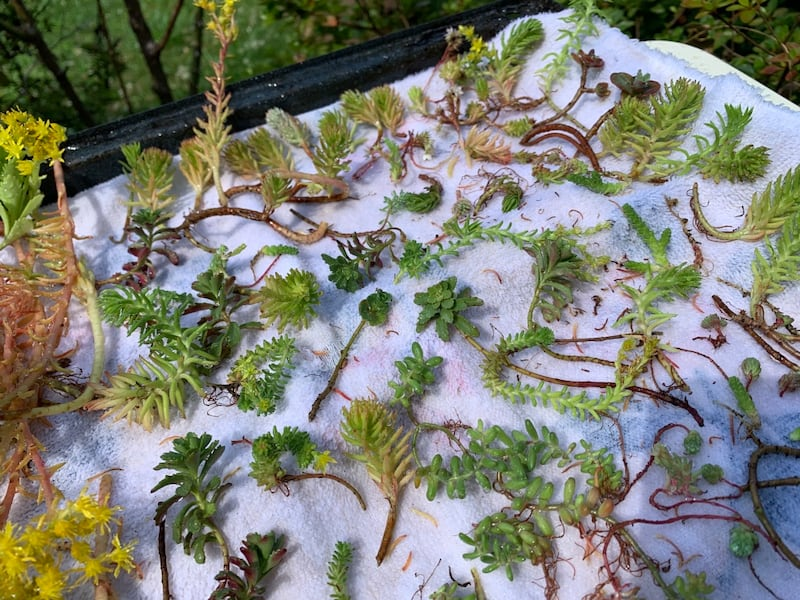 Succulent - Sedum/stonecrop/ice plant clippings for sale LIVE 856dc5fe-7adf-4b8a-abce-0601a25bf9fc