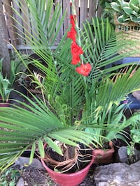 green leaf plant with red pot Springfield, 65803