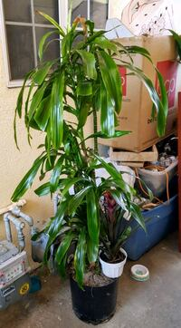 dracaena plant South Gate, 90280