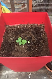 Strawberry seedlings in large self-watering pot