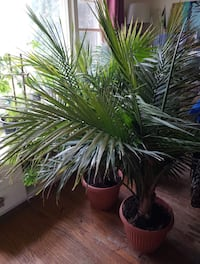 Large majestic palms $5 each  Must be gone by today  480 km