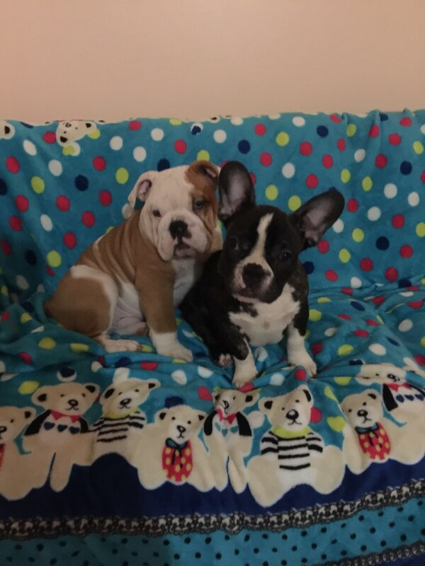 Used Two White And Tan English Bulldog Puppy Black And