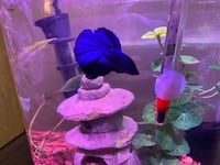 Beautiful Betta fish complete with full tank set up Gainesville, 20155