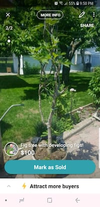 Fig tree with developing figs! Toronto, M6L 1Z1