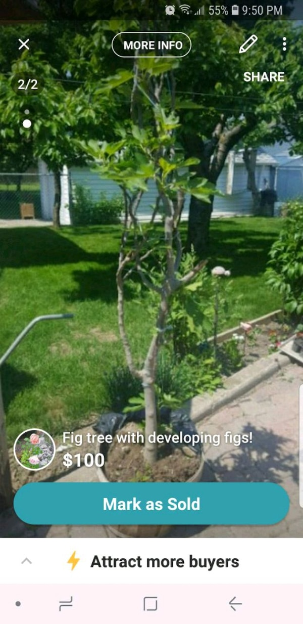 Fig tree with developing figs!