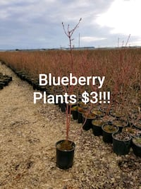 Blueberry Plants, $3!!! EASY TO GROW