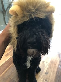 Lion costume for small dog or regular sized cat Toronto, M6J 2N1
