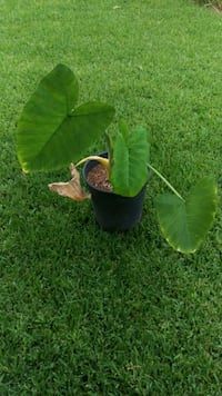 Elephant ears plant in 5 gallon pot Whittier, 90603