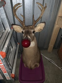 Rudolph the Red Nosed Reindeer Taxidermy Decoration