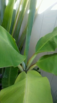 Banana trees in great Pot Deerfield Beach, 33441
