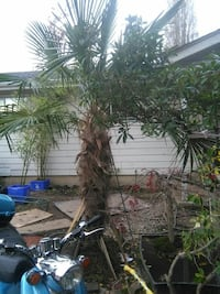 17 foot palm tree Vancouver, V6H
