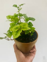 green leaf plant with brown pot Mississauga, L5A 2G9