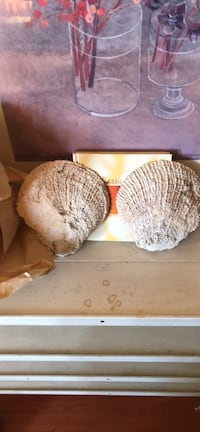 Two sea shells from Jamaica  New Westminster, V3M 4J5
