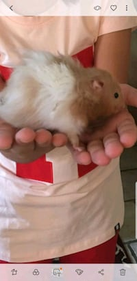 Syrian golden Hamster with cage London, N6H 4W1