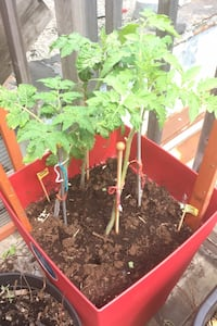 Tomato Plants in self watering large pot