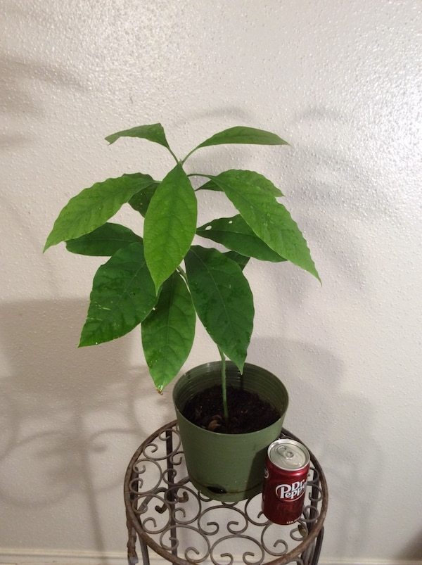 """23"""" Organic Homegrown Alive Avocado Tree Plant in planter"""