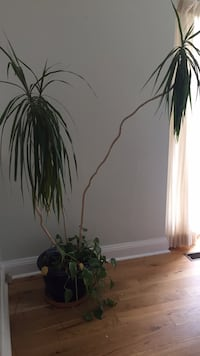 Large Houseplant Mississauga, L5G 2Z8