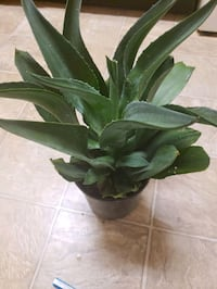 """Agave plant 8"""""""
