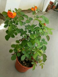 green leaf plant in brown pot Singapore, 510127