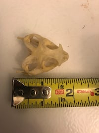 Juvenile bearded dragon skull Hagerstown, 21742