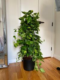 Tall Golden Pothos on Moss Stake