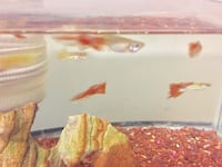 GUPPIES FOR SALE!!! 539 km