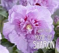 Light Purple Rose of Sharon Plant Markham