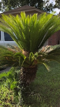 Female Sago palm tree  with Pups & lots of seeds Houston, 77022
