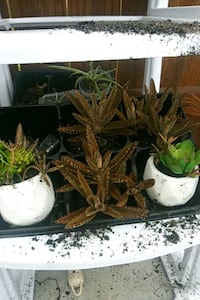 Live Cactus succulents rooted in decor pots Port Charlotte, 33952