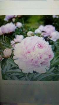 pink peony in 2 ft pot Lancaster, 93536