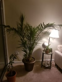 Giant House Palm Plant with Embellished Bronze Pot Washington