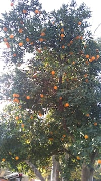 Donate your extra fruit,we will pick it Bakersfield, 93307