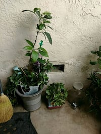 green leaf plant with black pot Bakersfield, 93308