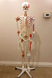 CANDENT Super skeleton with muscles and ligaments