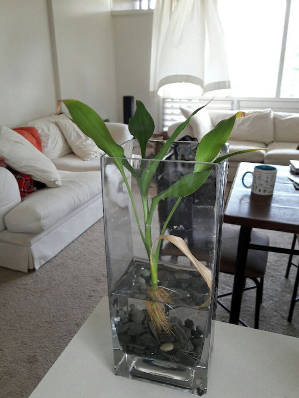 Used Large Lucky Bamboo Plant In Glass Vase With Stones For Sale In
