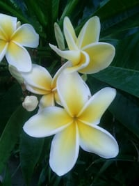 Plumeria cutting fresh Long Beach, 90805