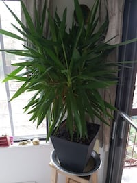 potted Madagascar Dragon Tree plant