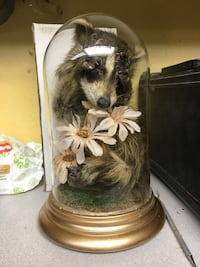Racoon taxidermy with dome Montréal, H2J
